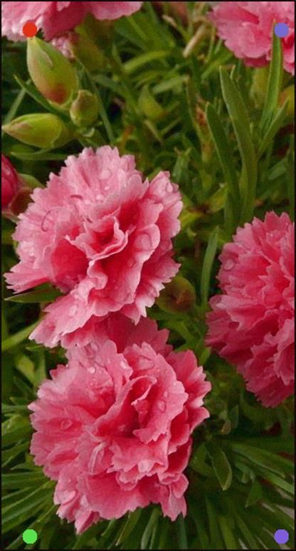 Carnations By Pizzodisevo On Flickr Beautiful Shot The Flowers Look Like They Re Popping Right Out Of The Picture Carnation Flower Pink Carnations Carnations