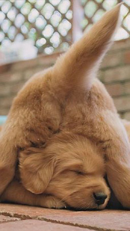 Golden Retrievers Sleep Anywhere They Want Puppies Cute Animals Cute Dogs