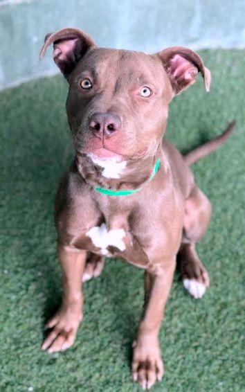 Adopt Sedona On Wags Walks Pitbull Terrier Pets