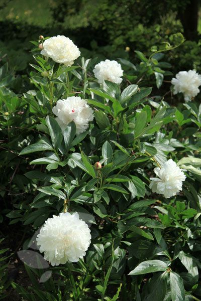 Paeonia lactiflora shirley temple paeonia lactiflora gardens paeonia lactiflora shirley temple paeonia lactiflora gardens and plants mightylinksfo Image collections