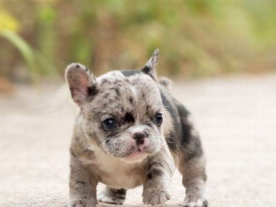 Rolly Merle French Bulldog In 2020 Merle French Bulldog French