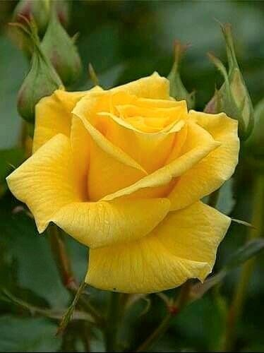 Pin By Leah Spruell On Gardening Tips Ideas Beautiful Rose Flowers Rose Flower Pictures Beautiful Flowers