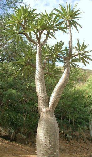 راهنمای کامل نگهداری نخل ماداگاسکار در منزل Flowering Trees Trees To Plant Planting Succulents