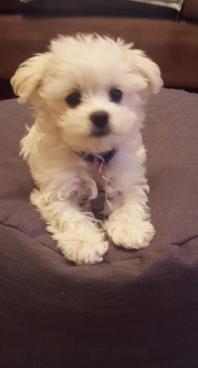 Maltese Puppies For Sale In South Africa Maltese Puppy Maltese Dog For Sale Maltese Puppies For Sale