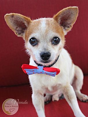 Benton La Chihuahua Meet Nevada A Dog For Adoption