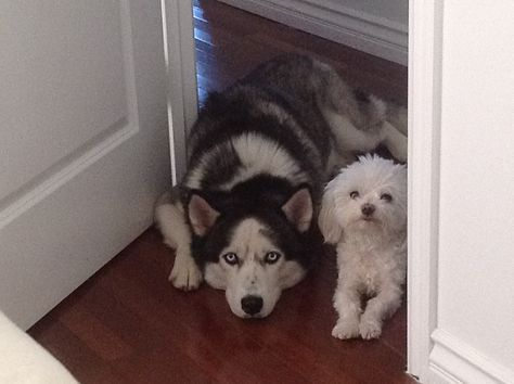 Our Siberian Husky Drago And His Big Brother Maltese Gatsby