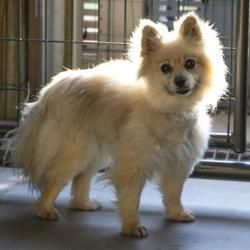 Colorado Springs Co Pomeranian Meet Sarah A Pet For Adoption Pet Adoption Pets Pomeranian For Adoption