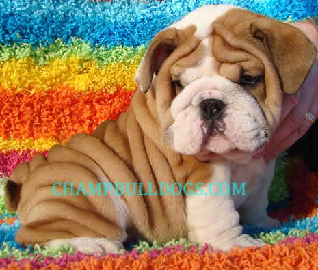English Bulldog Puppy For Sale Englishbulldogpuppiesforsale