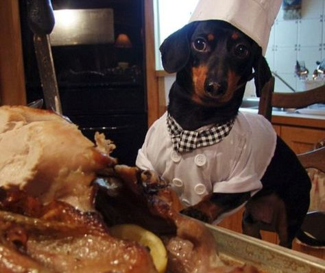 Thanksgiving Dachshund Dogs Thanksgiving Dachshunds Happy