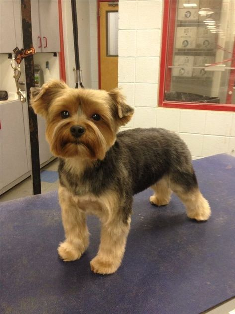 Yorky Terrier, Yorshire Terrier, Dog Grooming Styles, Dog Grooming Supplies, Grooming Yorkies, Pet Supplies, Puppy Grooming, Yorkshire Terrier Haircut, Yorkshire Terrier Puppies