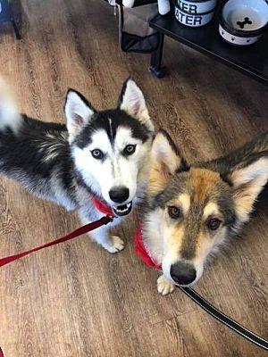 Harvard Il Siberian Husky Meet Haleigh And Hurley A Pet For