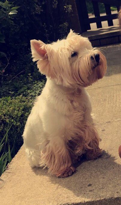 I M So Beautiful West Highland Terrier Cutest Dog Ever