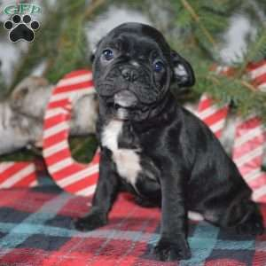 Jacob Frenchton Puppy For Sale In Ohio Puppies Puppies For