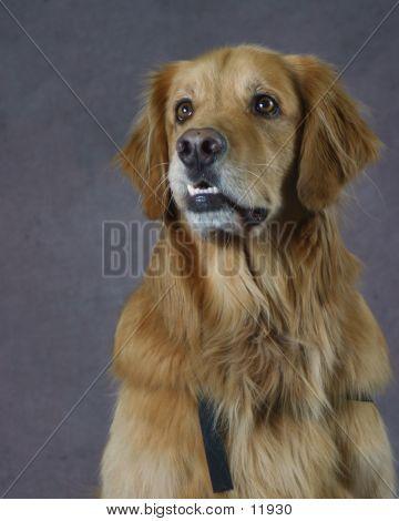 Golden Retriever Poster Dog Hot Spots Dog Lovers Dogs