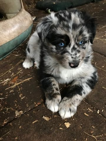 Australian Shepherd Puppy For Sale In Saint Johns Fl Adn 60208 On Puppyfinder Com Gender Male Age 6 Weeks Old Cute Baby Animals Funny Animals Puppies