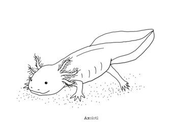 Axolotl Coloring Page By Mama Draw It Teachers Pay Teachers Coloring Pages Axolotl Drawings