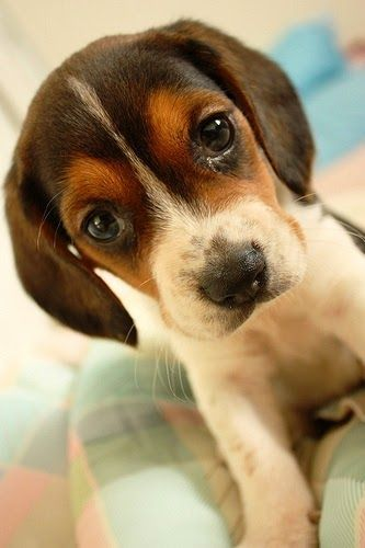 Top 10 Most Lovable Dogs In The World But Our Buddy The Beagle E