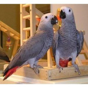 African Grey Congo Parrots For Sale Our Family Parrots African Grey Parrot African Grey Congo African Grey