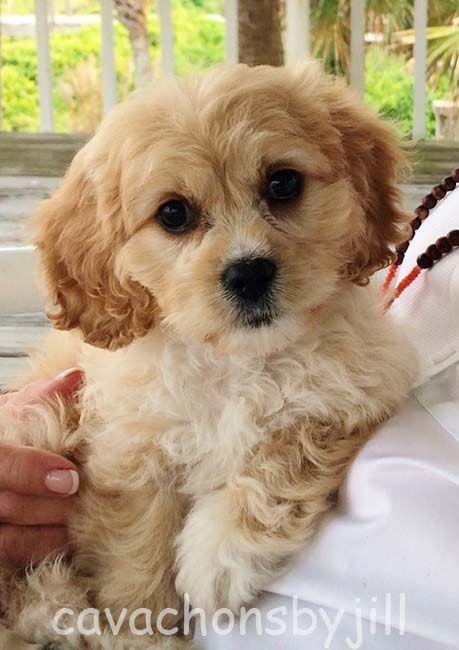 Cavachons By Jill We Breed For Calm Beautiful Cavachons Family Raised Cavachon Puppies Cavachon Dog Cavachon