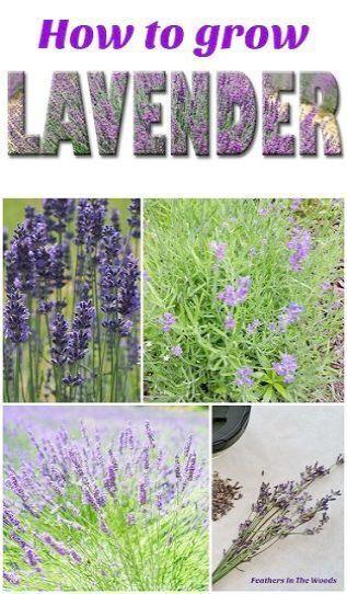 Alon Balcony Beginners Gardening Malayalam Tips Balcony Beginners Gardening Malayalam Tips Ga In 2020 Growing Lavender Lavender Plant Organic Gardening Tips