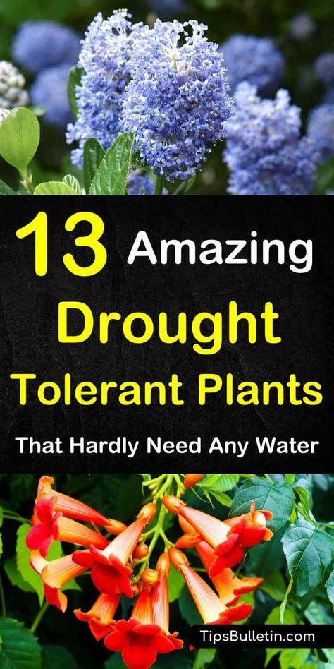 Discover 13 Colorful Drought-Tolerant Plants For Your Front Yard Or Flowering Pots. Ideal For Garden Containers And Front Yards In Zone 5 Hot Areas Like California, Texas, Arizona, Nevada Or New Mexico. The Perfect Perennials For Full Sun Conditions. Drought Resistant Plants, Plants, Garden Shrubs, Sun Perennials, Drought, Perennials, Drought Tolerant Plants, Garden Containers, Landscaping Plants