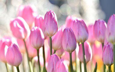 Scarica Sfondi Tulipani Tulipani Rosa Fiori Di Campo Fiori Rosa