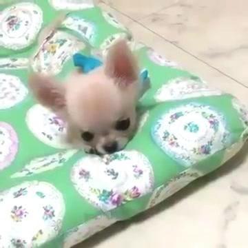 Chihuahua Puppy Has The Cutest Bark Baby Chihuahua Chihuahua