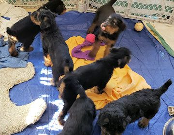 Southern California Airedale Puppies Airedale Terrier Puppies