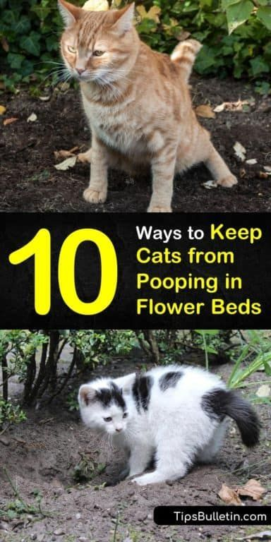 10 Quick Ways To Keep Cats From Pooping In Flower Beds Cat Repellant Outdoor Cat Repellant Flower Beds