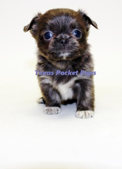 Dallas Tx Teacup Chihuahua Puppies For Sale Dallas Texas Breeder Teacup Chihuahua Puppies Chihuahua Chihuahua Puppies