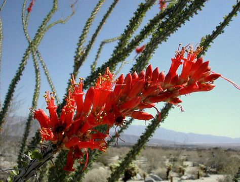 Ocotillo Fouquieria splendens 10 seeds desert wonder thorny sticks with red blooms drought tolerant cold hardy makes a great fence