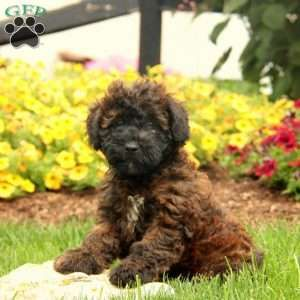 Tessa Mini Whoodle Puppy For Sale In Pennsylvania Whoodle
