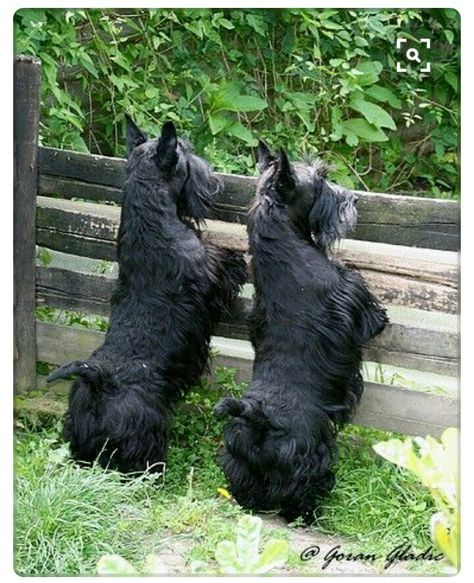 Nothing escapes a Scottie's attention.....                                                                                                                                                      More
