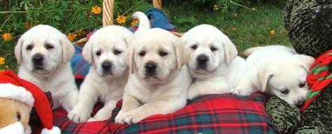 White Teacup Pomeranians Petsidi In 2020 Labrador Puppy Labrador Labrador Retriever