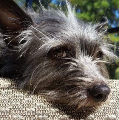 Adorable Cairn Terrier Mix For Adoption To Loving Home In Laguna