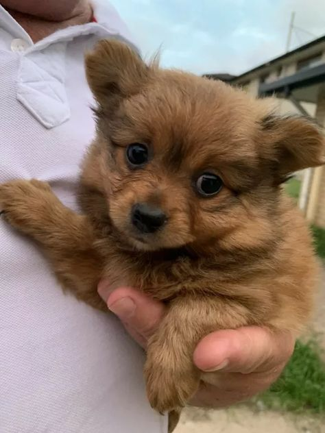 Puppies Pomeranian X Dogs Puppies Gumtree Australia Brisbane