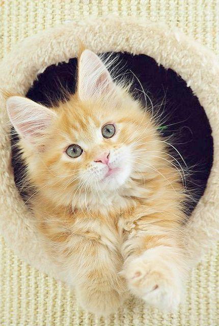 Kittens Game Geology Despite Siamese Kittens For Sale Near Me Kittens For Sale Near East Kilbride Cute Cats Cute Animals Pretty Cats