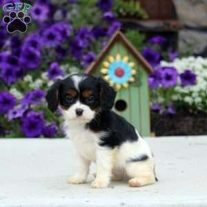 Cavapoo Puppies For Sale Cavapoo Puppies Cavapoo Puppies For