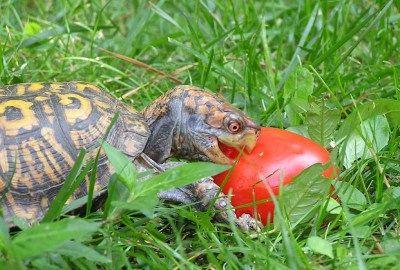 What Do Box Turtles Eat Box Turtle Food Box Turtle Turtle