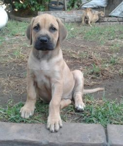 Ridgeback Cross Boerbull Pups Dogs Puppies Pup Gumtree South