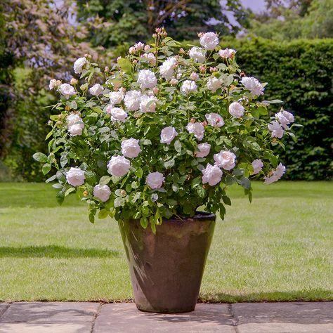 David Austin English shrub rose 'Winchester Cathedral' - Produces masses of medium-sized rosettes.