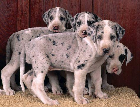 Harlequin Great Dane Puppies Razas De Perros Gran Danes Perros