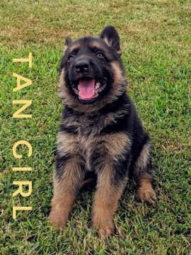 Litter Of 10 German Shepherd Dog Puppies For Sale In Mount