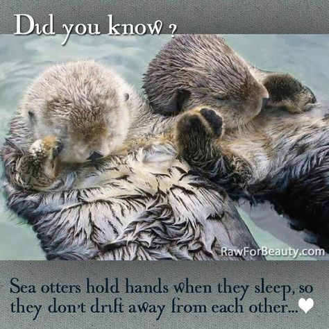 TOGETHERNESS : Sea Otters hold hands while sleeping to keep from drifting apart. At one point they drifted apart, letting go of their hands. They both woke up, searched for each other, and got back together. Then while holding hands, they fell asleep again. |