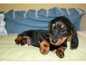 Toy Miniature Dachshunds Are Very Loyal And Devoted Family