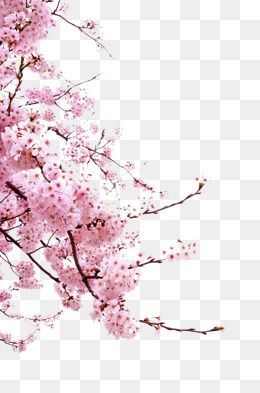 decoration,pink,branches,cherry blossoms,cherry tree branch,cherry,blossoms,tree,branch