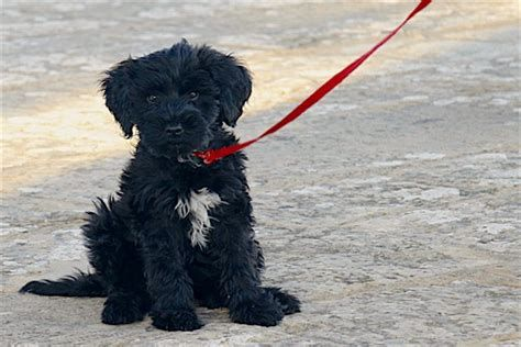 5 Things To Know About Portuguese Water Dogs Petful Portugese Water Dogs Portuguese Water Dog Portuguese Water Dog Puppy