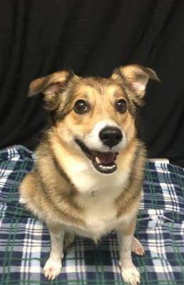 Fort Wayne In Mixed Breed Medium Meet Shelby A Dog For Adoption Dog Adoption Mixed Breed Dogs