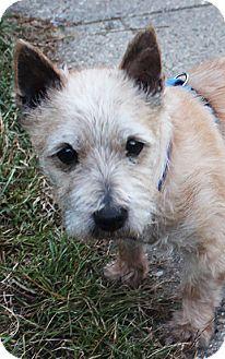 Israel Medina Oh Cairn Terrier Meet Israel In Mi A Dog For
