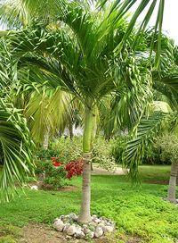 Adonidia Palm or Christmas Palm tree